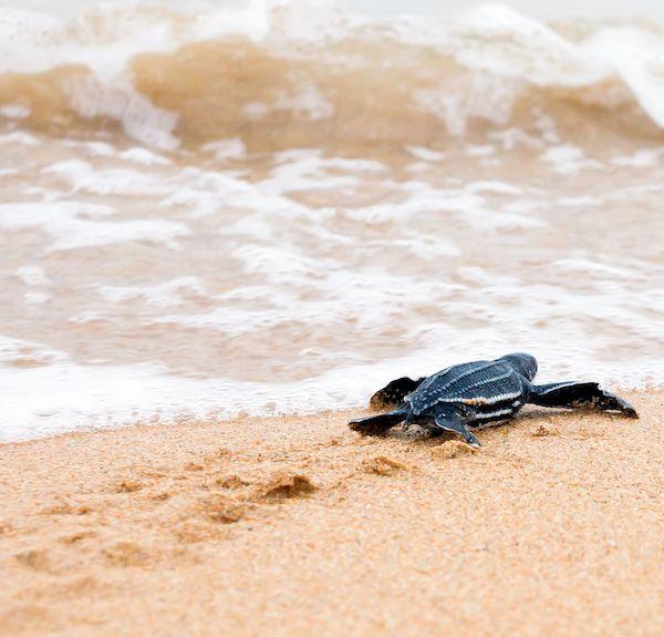 Turtle hatching!   When staying at: Jupiter Beach Resort & Spa at North Palm Beach, Florida