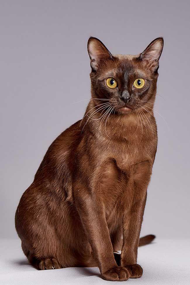 Laquelle De Ces Races De Chat Est La Bonne Pour Vous Burmese Cat Cat Breeds Popular Cat Breeds