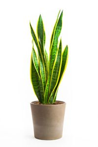 Mother-in-laws tongue house plants and flowers care. Plant care tips to keep your indoor potted houseplants doing their best.