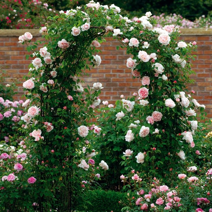St. Swithun - Repeat-Flowering - Popular Searches