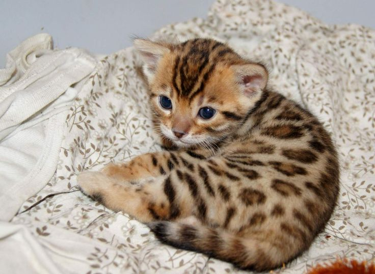 Teacup Bengal Kitten. Awww
