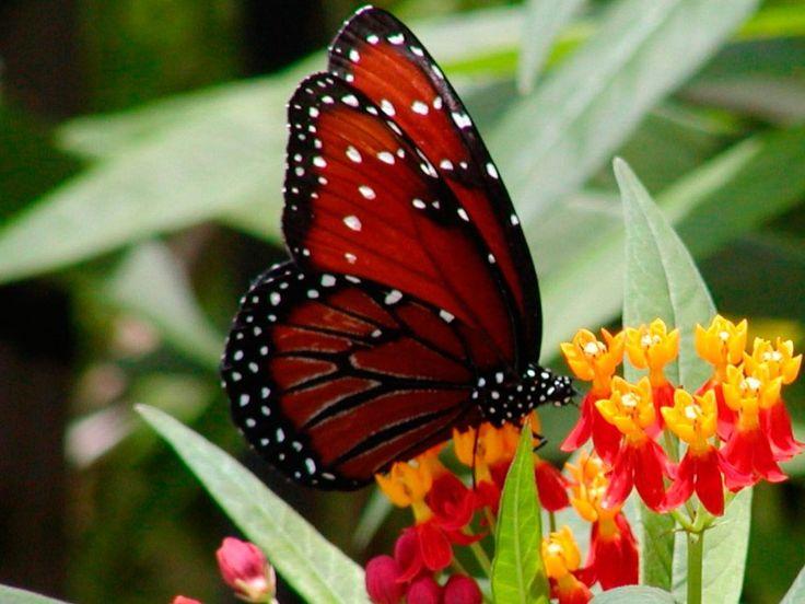 Mariposa roja :: Si buscas las mejores fotos de mariposas, en la siguiente galería que hemos preparado disfrutarás con una selección de imágenes de mariposas de colores para que puedas completar tu colección.