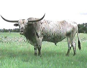 """Charles Goodnight's longhorn """"Blue"""" led all the herds of from Texas to Wyoming along the Goodnight - Loving trail."""