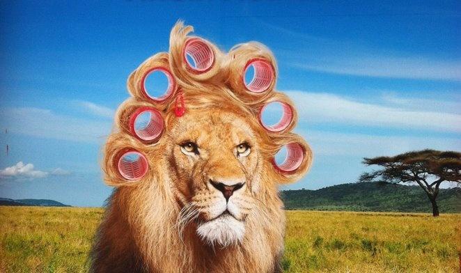 leone che si rifà la criniera!!