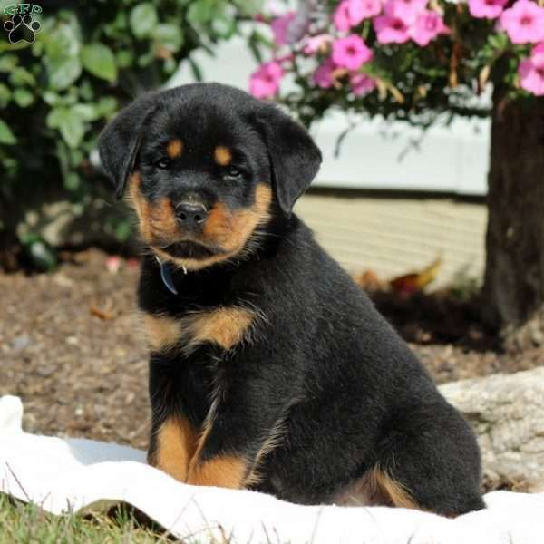 Dominic Is A Sharp Looking Rottweiler Puppy With An Adventurous