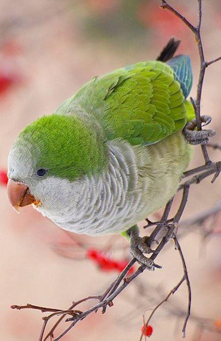 The Monk Parakeet, also known as the Quaker Parrot, (Myiopsitta monachus)