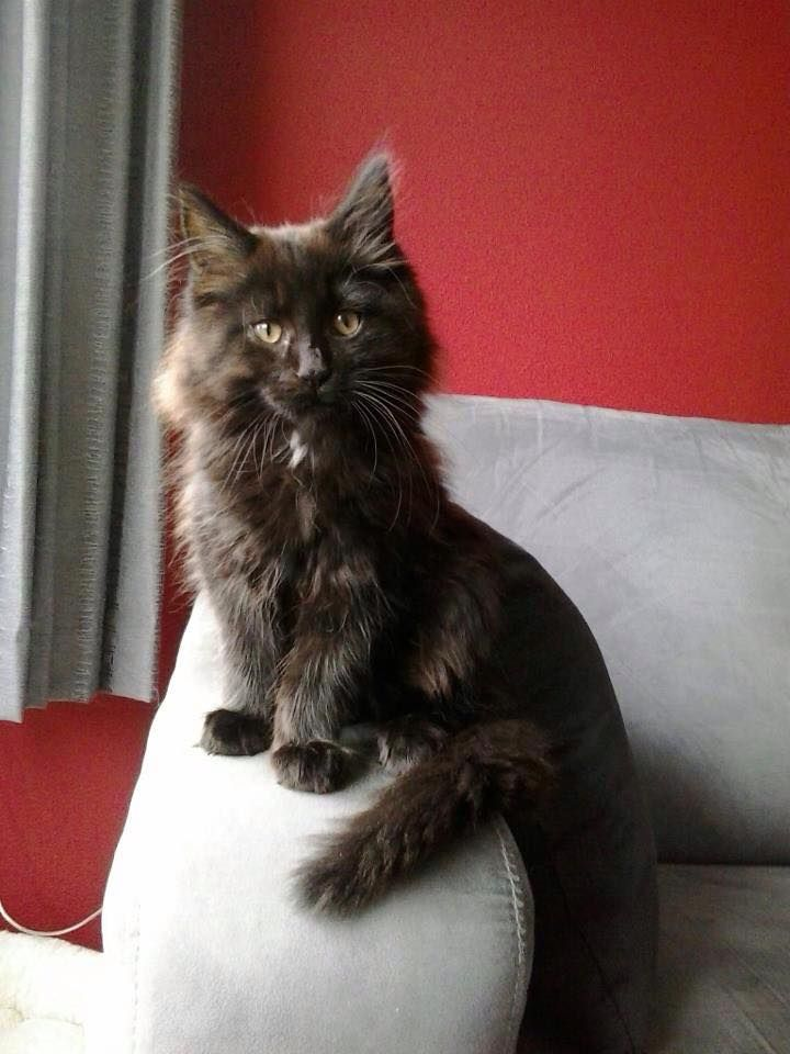 """Maine Coon kittens. Nayeli Jondalar. The """"i'm sexy and i know it"""" pose. photo by #Henderika, his proud owner"""