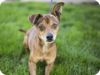 Phoenix, AZ - Chihuahua/Miniature Pinscher Mix. Meet LIL RED, a dog for adoption. http://www.adoptapet.com/pet/17037725-phoenix-arizona-chihuahua-mix