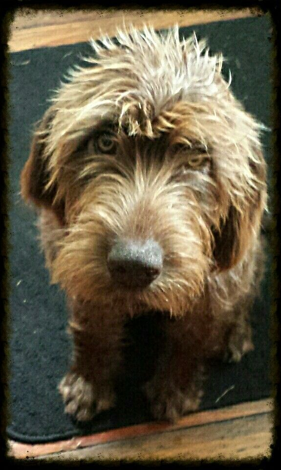 German Wirehaired Pointer Poodle Mix
