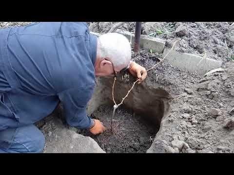 (24) Посадка саженцев винограда на постоянное место жительства осенью - YouTube
