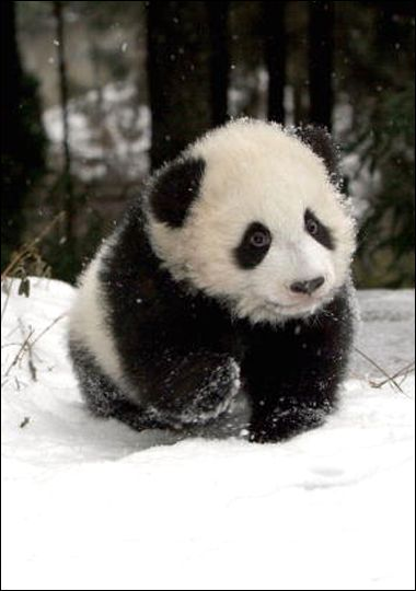 OMG...he looks so soft and cuddly.  Baby Giant Panda :-)