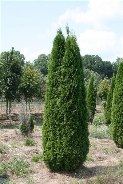 conical arbor vitae for front door sidesGardens Ideas, Emerald Green, Emeralds Green, Green Arborvitae, Dark Green