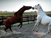NIK o stadninach koni -   Państwowe stadniny koni nie posiadają przejrzystych procedur sprzedaży koni. Wefekcie czego ich wartość rynkowa często jest zaniżana na rzecz kupujących, asprzedażą koni zajmują się nieupoważnione osoby. Wpogoni za zyskami jedna ze stadnin sprzedała nielegalnemu pośrednikowi zdrowe konie na r... http://ceo.com.pl/nik-o-stadninach-koni-79755