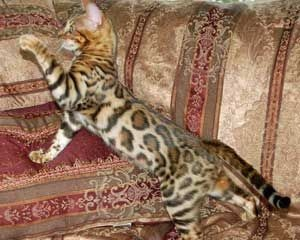 Visit Wild Trax Bengal & Egyptian Mau website www.absolutelycats.com/23Bengal.html www.absolutelycats.com/23EgyptianMau.html