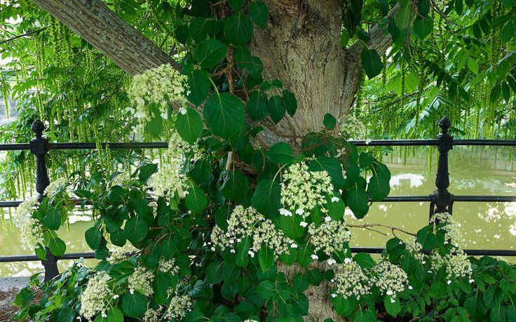 KLÄTTERHORTENSIA – TRIVS I HALVSKUGGA Klätterhortensia, H. anomala ssp. petiolaris, växer långsamt, speciellt i början. Med tiden kan de få hela 6–7 meter långa rankor, men går lätt att beskära. Behöver inte spaljéras, de suger fast sig själva. Trivs i halvskugga-skugga upp till zon 4 och blommar från mitten av juni.