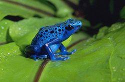 daintree frog