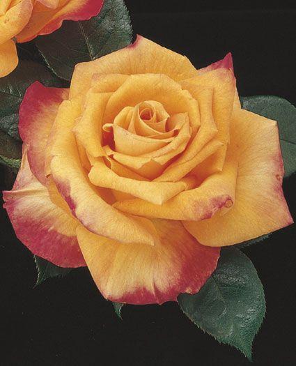 JP: Chris Evert (Gingersnap) - Melon Orange Blushing Red Hybrid Tea Roses