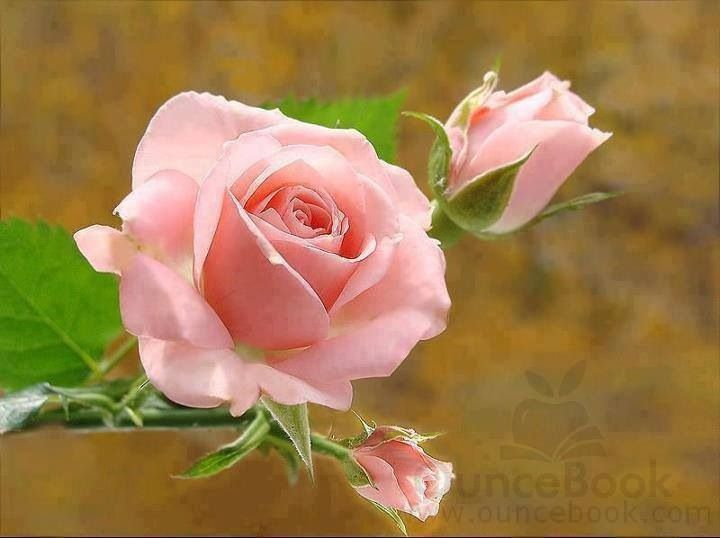 Good Morning Beautiful Pink Roses : Pink roses the most beautiful flower in