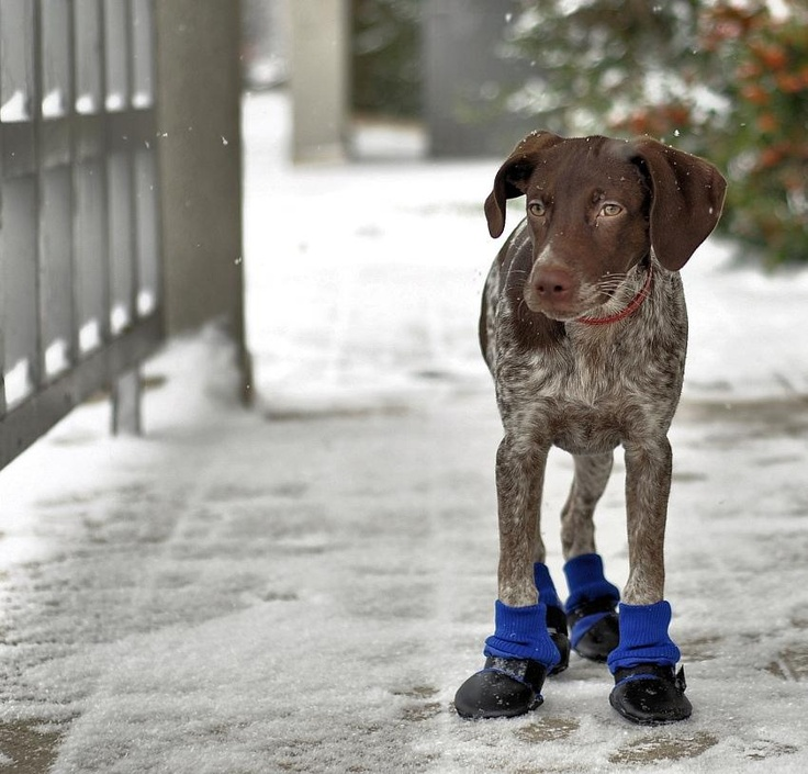 So gotta get these!! GSP in winter boots  by kankai / Photomediaworld.com: Dogs Items, Animal Kingdom, Pretty Puppys, Future Puppys, Gsp S, Nice Boots, Winter Boots, Boots Scootin, Fu Kin Socks