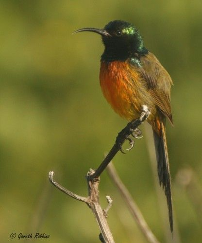 The orange-breasted sunbirds of the Fynbos Biome