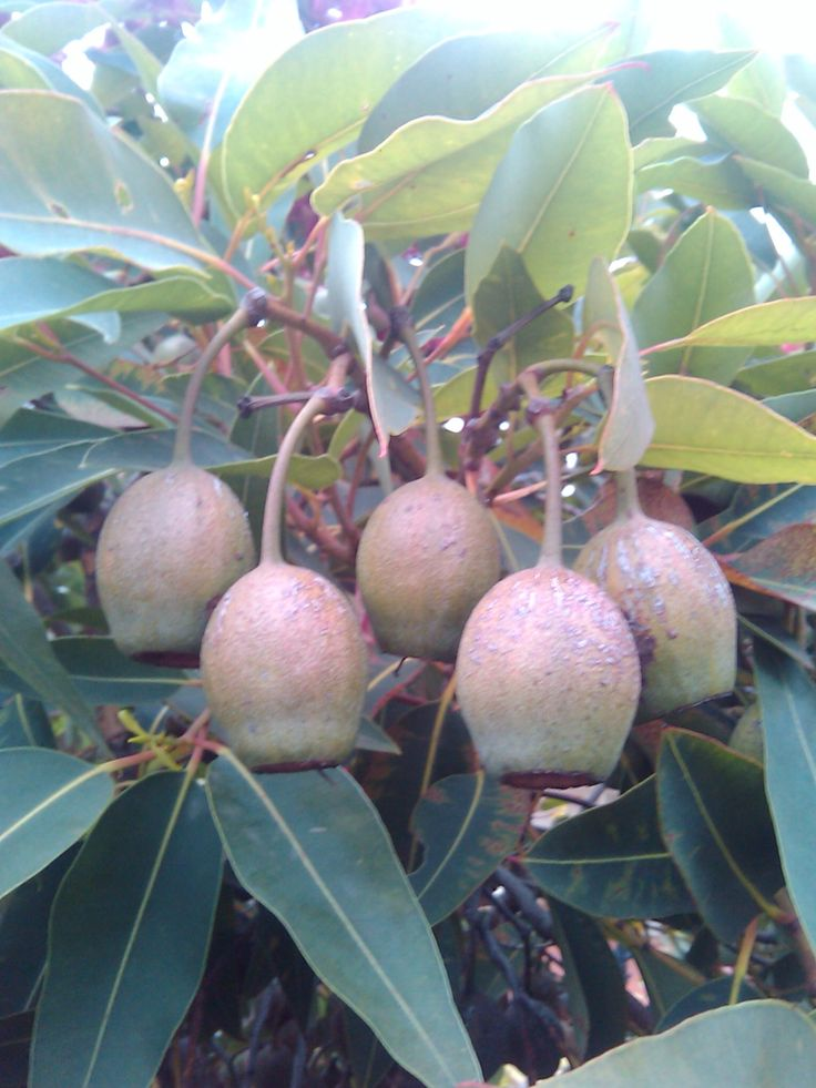 Western Australian Flowering Gum (Corymbia ficifolia) Last flowering seasons gumnuts