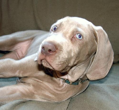 MacKay.  Weim Weimaraner Puppy Boy.