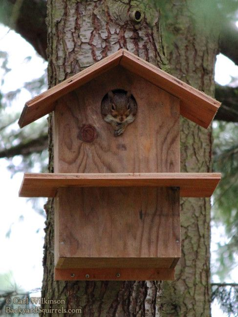 Cute picture of a squirrel relaxing in his squirrel house, peeking out to see the view.