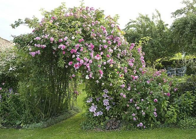 Fertiliser le rosier grimpant non remontant
