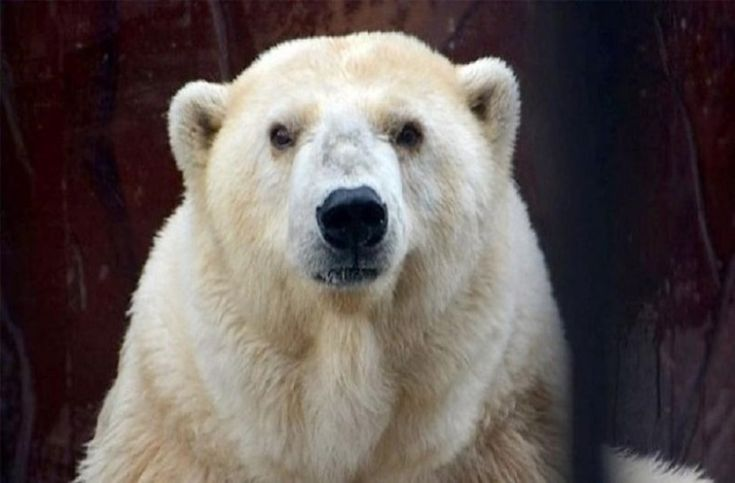 Πέθανε η γηραιότερη λευκή αρκούδα της Ρωσίας! (βίντεο)