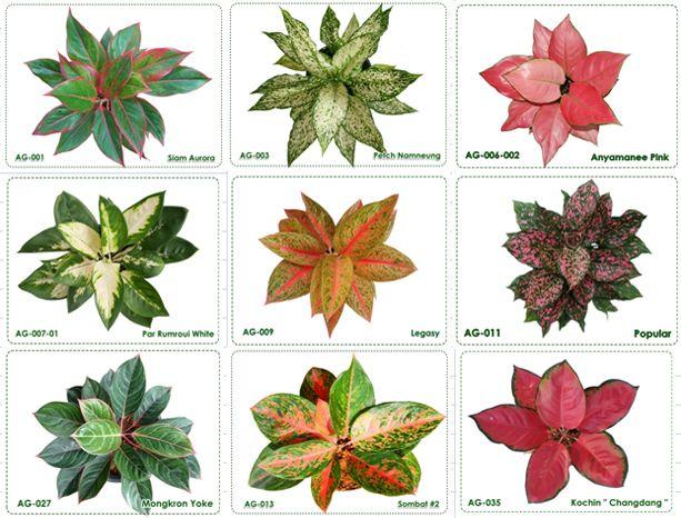 Urban wall gardening - Chinese Evergreen Cultivars Garden Amp Garden Tools