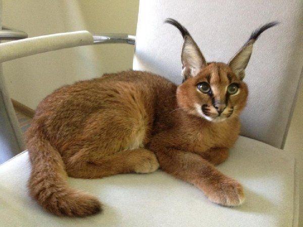 Caracal Cat Pet Australia