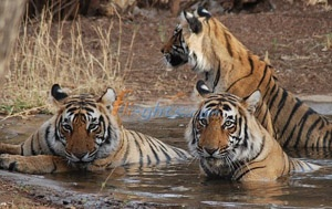 Bandhavgarh National Park is a prominent national park of Madhya Pradesh which is situated in the Umaria region of M.P.