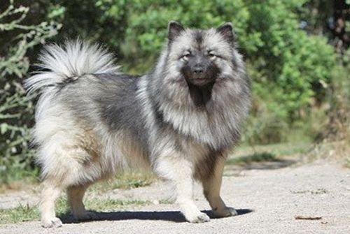 315 chien de race spitz loup