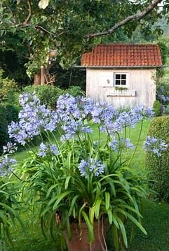agapanthus..... omg, another jaw dropper pin!!!! loooooooooove this whole setting!! This is an old potting shed in an incredible setting!!!