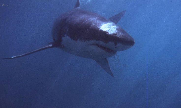 Shark Image URL: http://www.theguardian.com/environment ...