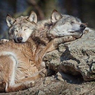 Sleeping Wolves
