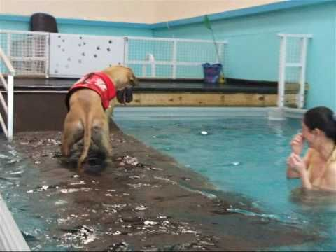 Honey's first swimming lesson, he's a great dane...it's soo funny!