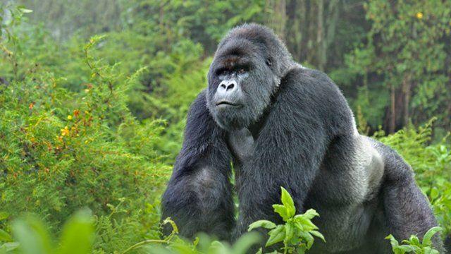 Webshots - Mountain Gorilla Silverback, Rwanda