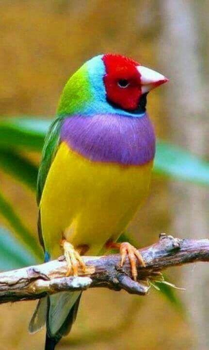 Gouldian-Finch- Australia: Beautiful!!!