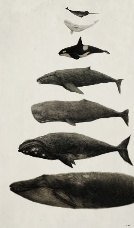 Whales! From top to bottom: Narhwal, Beluga Whale, Orca, Humpback Whale, Sperm Whale, Right Whale, and Blue Whale (Approx size differences)