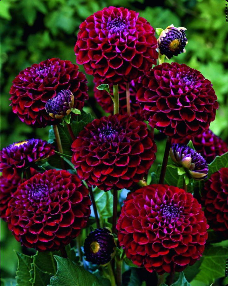 These beautiful spiky flowers originate from Mexico and are tuberous-rooted perennials that bloom from mid summer till the first frost. We love them not only for their undeniable beauty, but also because they are so low maintenance and easy to grow!