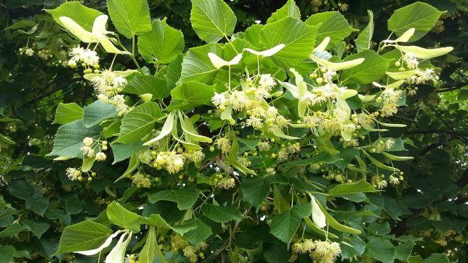 Készíts likőrt a hársfavirágból! A csodálatos borostyán színe és az illata utánozhatatlan! | Egy az egyben
