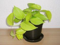 Las plantas que os muestro no solo eliminan los componentes tóxicos, además son muy fáciles de cuidar.