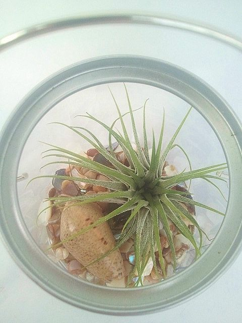 Ionantha Rubra// Air Plant// Paint Bucket// Kit by EDsAirplants, $17.99