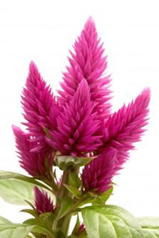 Learn about growing celosia flowers, also known as wool flowers or cockscomb. They have large gold, red, yellow, orange, pink, and purple flower clusters.