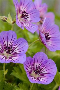 Geranium 'Havana Blues' - a new long-flowering hardy geranium (click to enlarge)