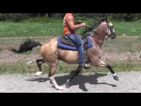 Blue's Rowdy Rennaisance Man Buckskin Speed Single Footing Stallion - Jacob Parks Horsemanship - YouTube