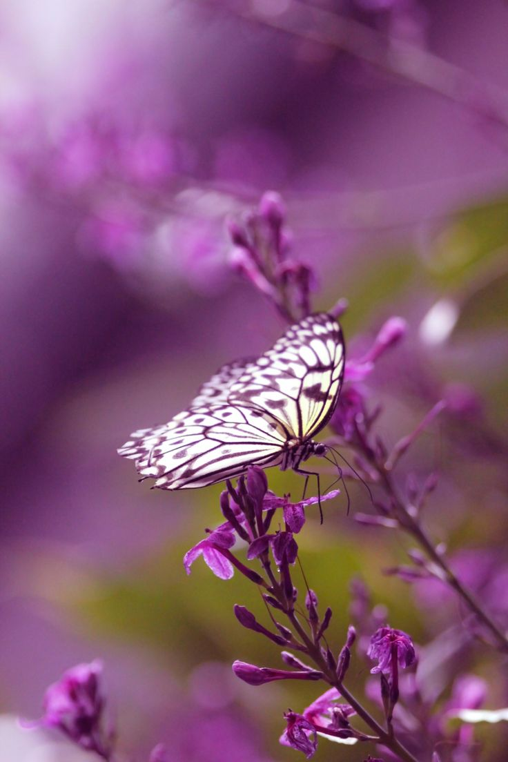 best 25 purple butterfly ideas on pinterest beautiful