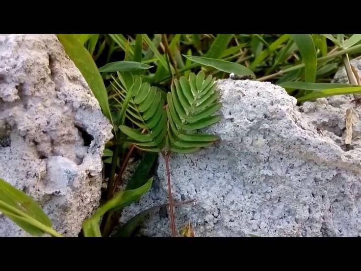 Makahiya plant