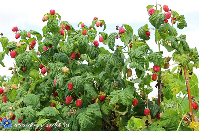 Как выращивать малину на маленьком участке и получать большой урожай ягод. | Красивый Дом и Сад